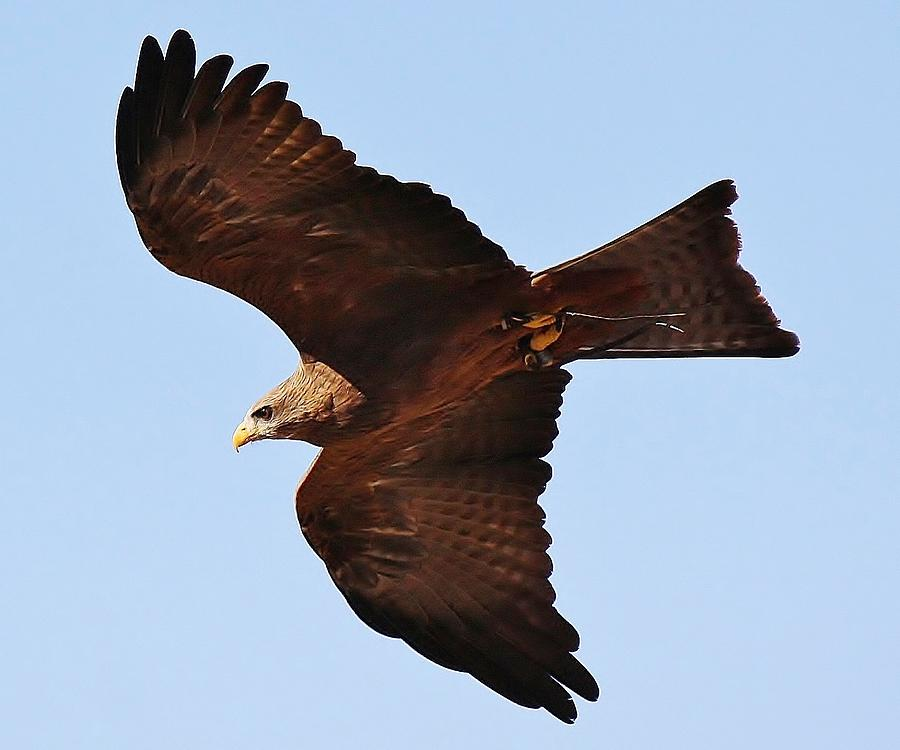 Yellow Billed Kite In Flight Photograph