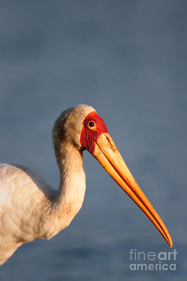 Yellow-billed Stork Portrait Photograph