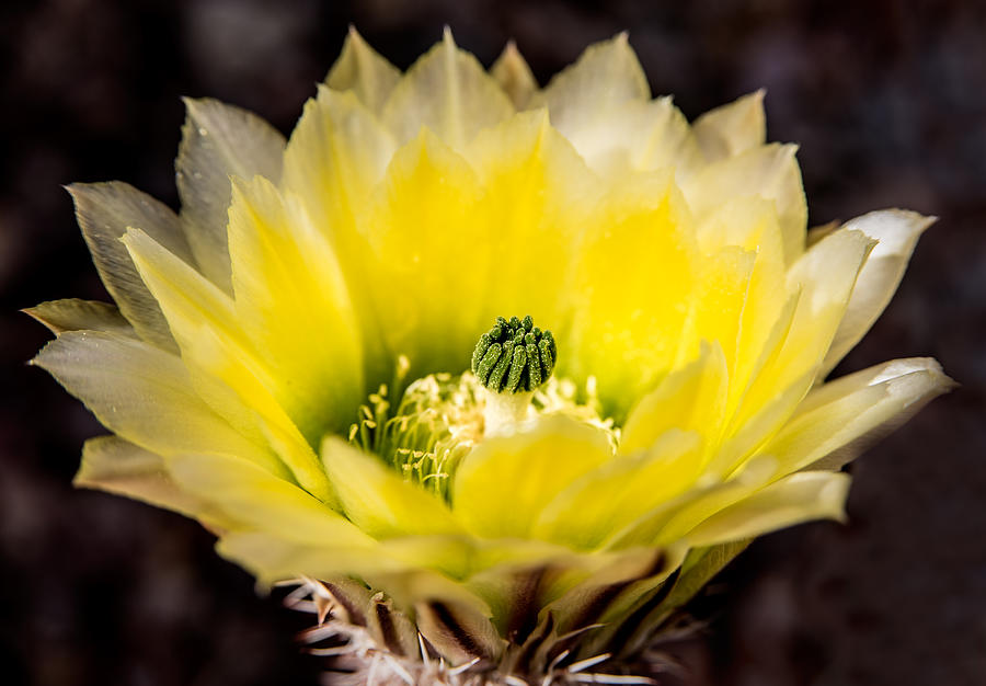 Yellow Cactus Flower Photograph  - Yellow Cactus Flower Fine Art Print