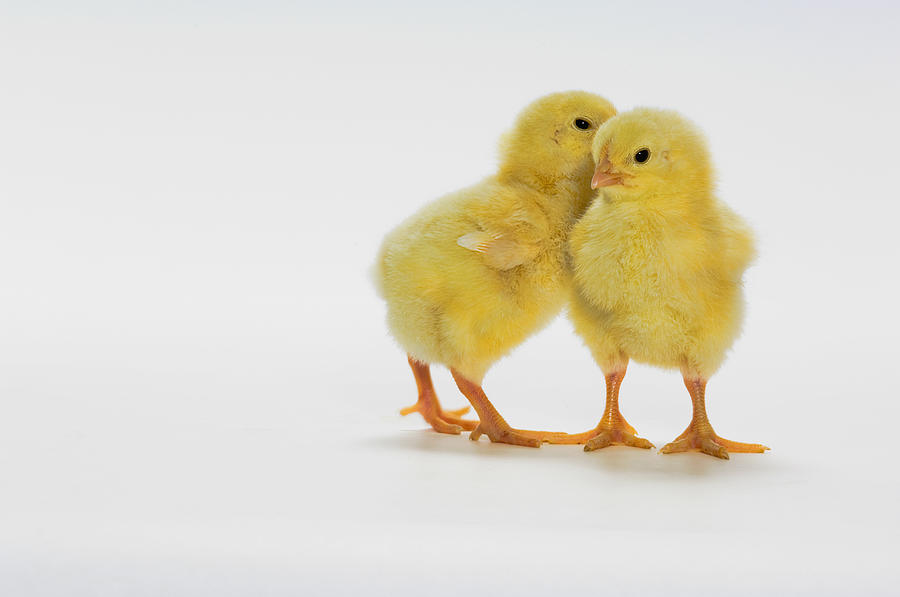 Yellow Chicks. Baby Chickens Photograph