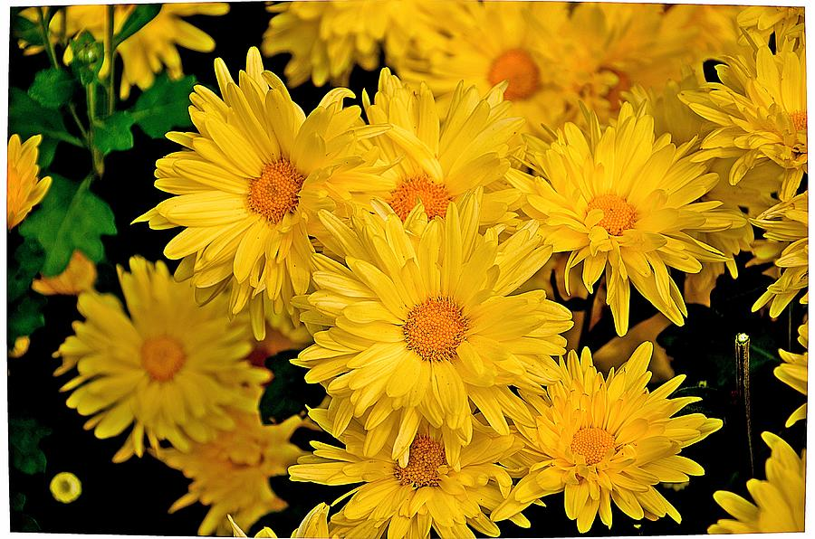 Yellow Chrysanthemum Flowers 1 Photograph by Johnson Moya Yellow Chrysanthemum Flower