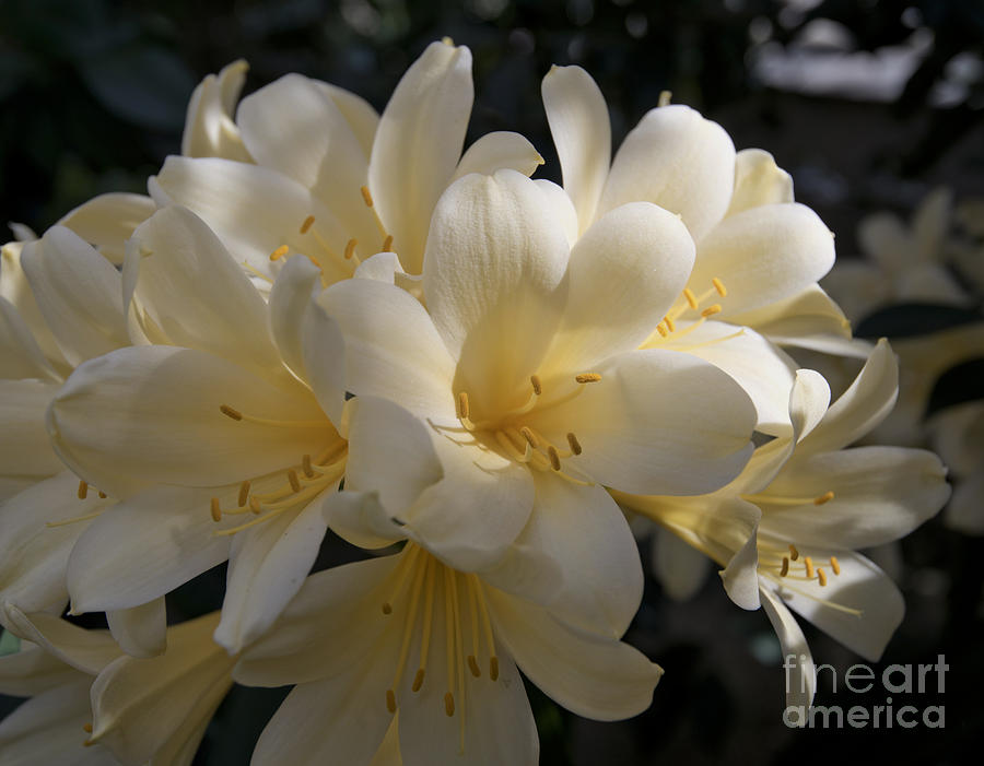 Yellow Clivia 1004 Photograph