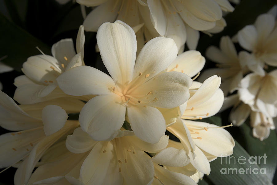 Yellow Clivia  1036 Photograph  - Yellow Clivia  1036 Fine Art Print