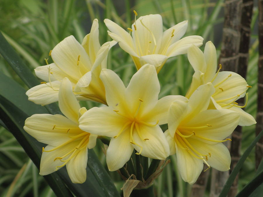 Spring  Photograph - Yellow Clivia Lily by Alfred Ng