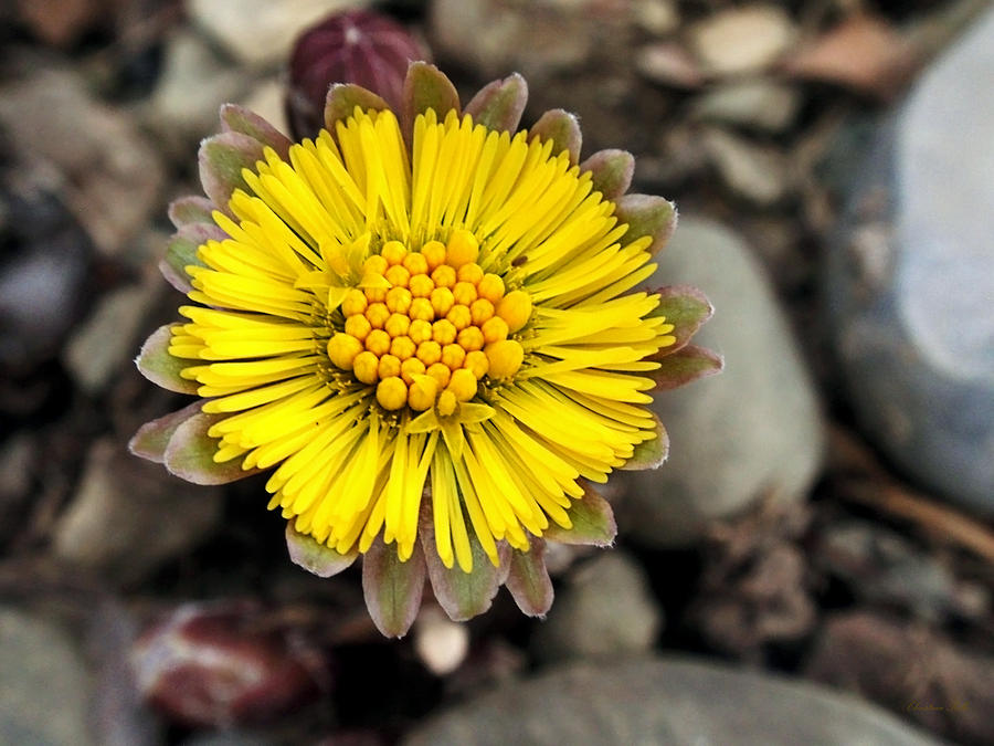 Yellow Photograph - Yellow Coltsfoot Flower by Christina Rollo