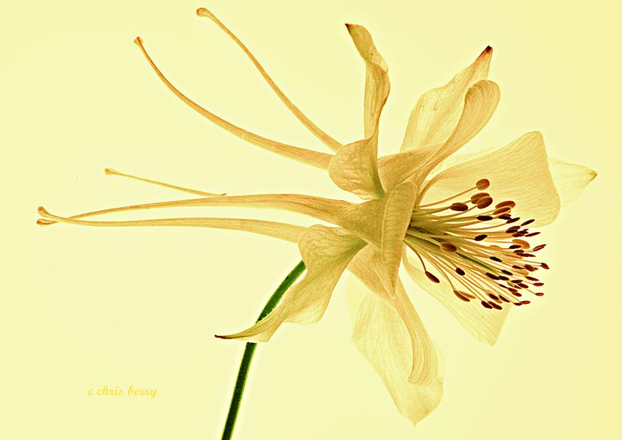 Yellow Columbine Study  Photograph  - Yellow Columbine Study  Fine Art Print