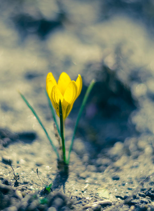 Yellow Crocus Photograph