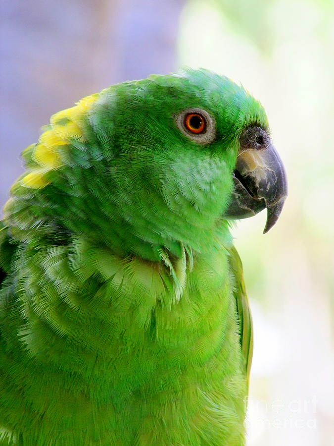 Parrot Photograph - Yellow Crowned Amazon Parrot No 1 by Mary Deal