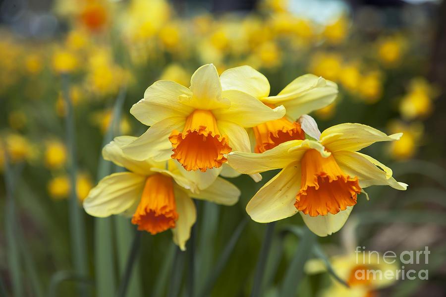 Yellow Daffodils Photograph