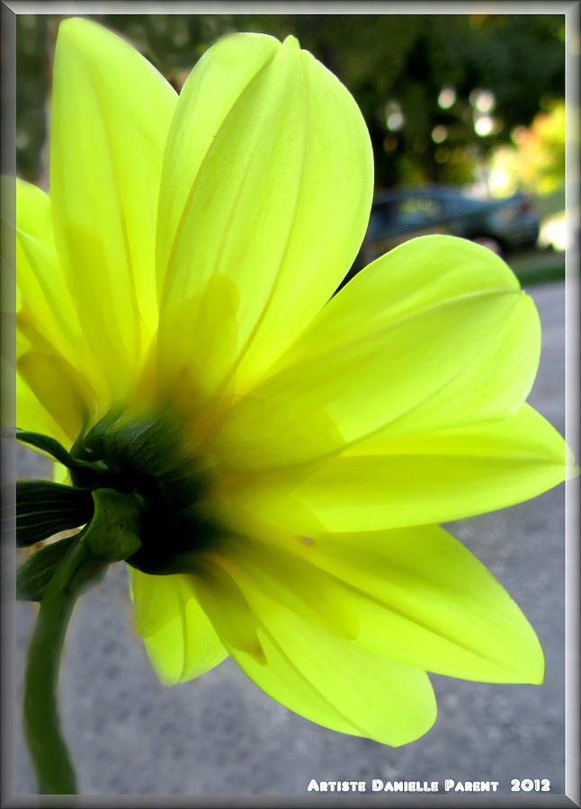 Yellow Dahlia Bloom Photograph
