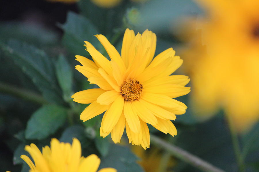 Yellow Daisy Photograph  - Yellow Daisy Fine Art Print