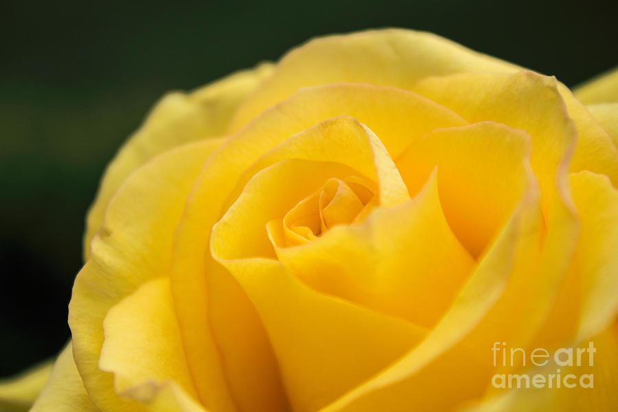 Yellow Delight Photograph