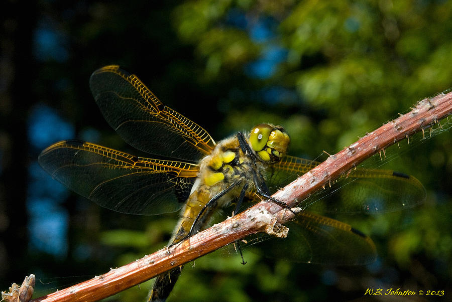 Yellow Dragon Photograph
