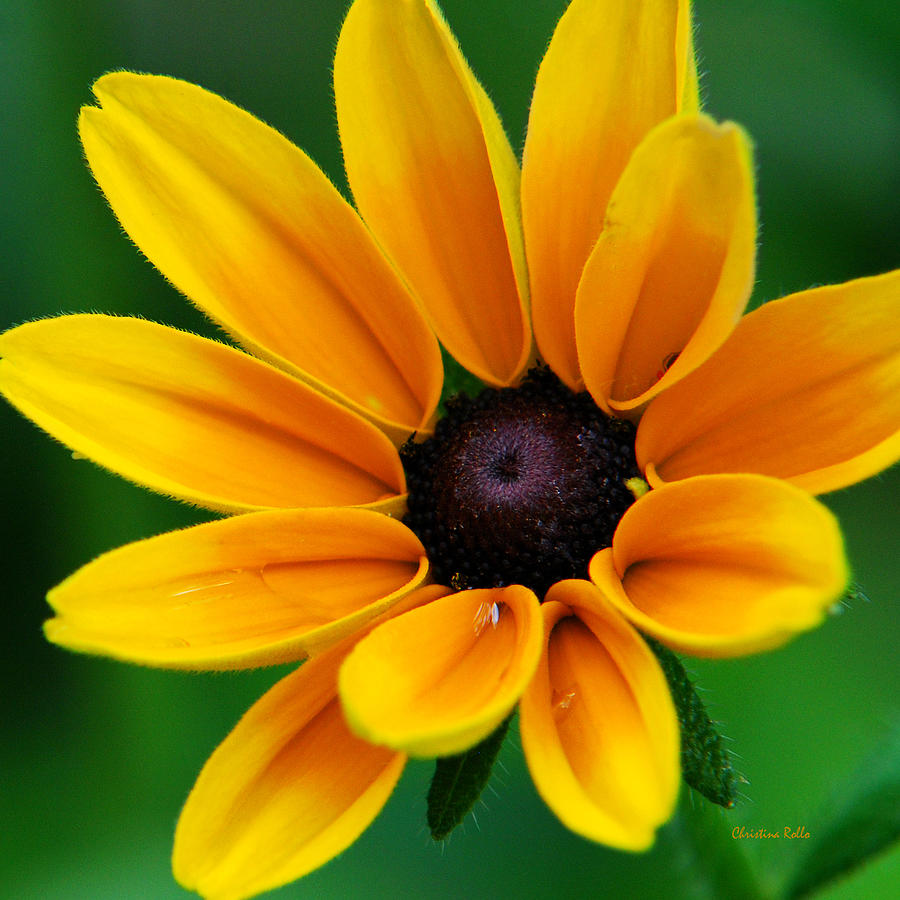 Yellow Flower Photograph - Yellow Flower Black-eyed Susan by Christina ...