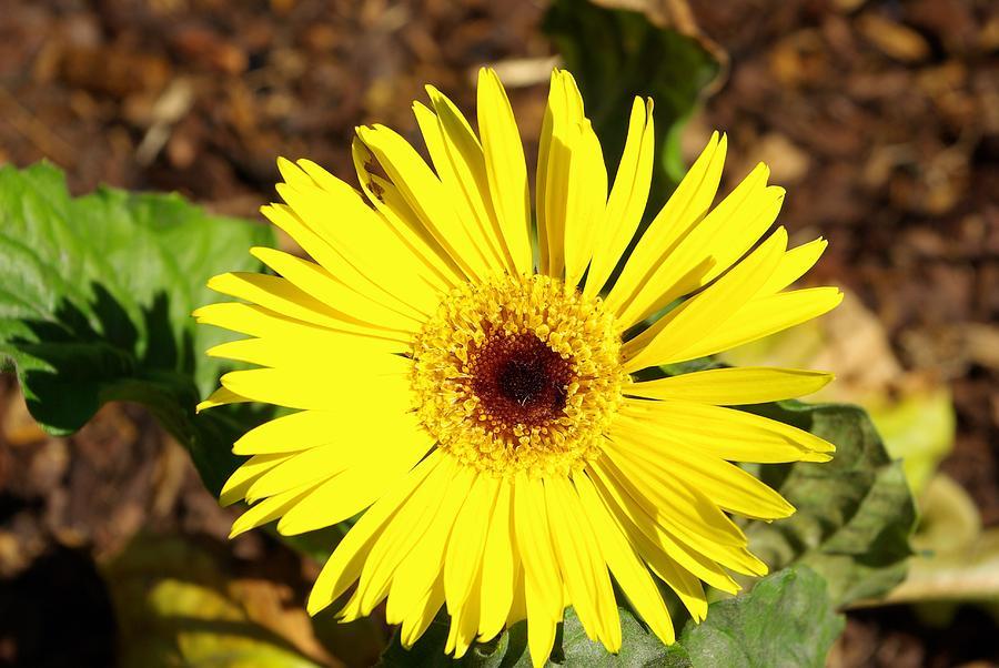 Yellow Gerber Daisy Photograph by Robert Wiener