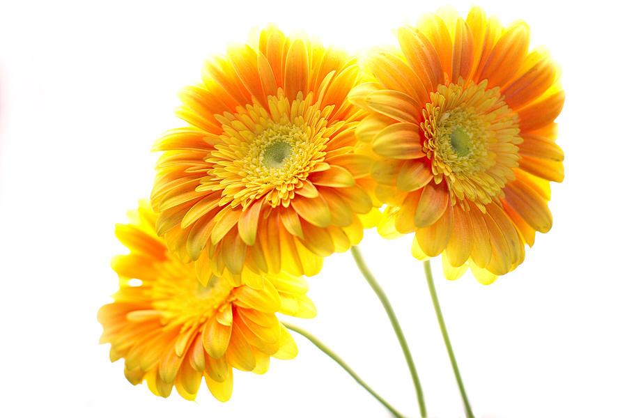 Yellow Gerber Trio Photograph