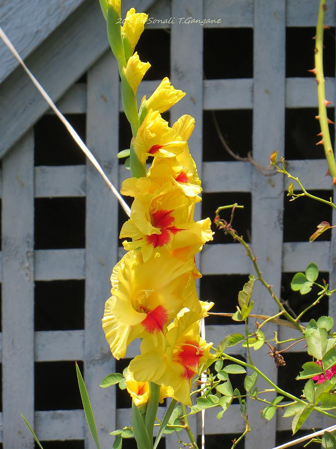 Gladiola Photograph - Yellow Grandeur by Sonali Gangane