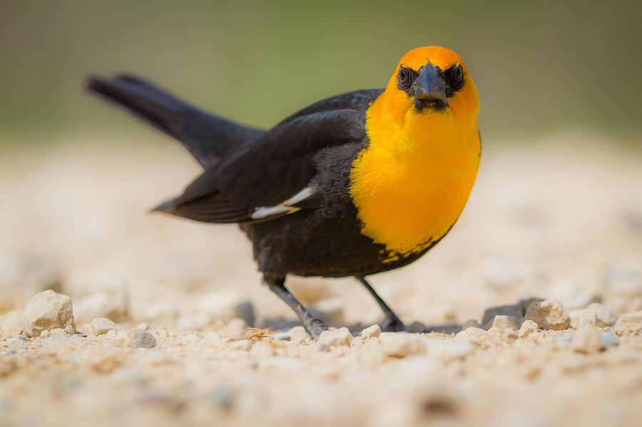 Bird Photograph - Yellow Headed Blackbird by Chris Hurst