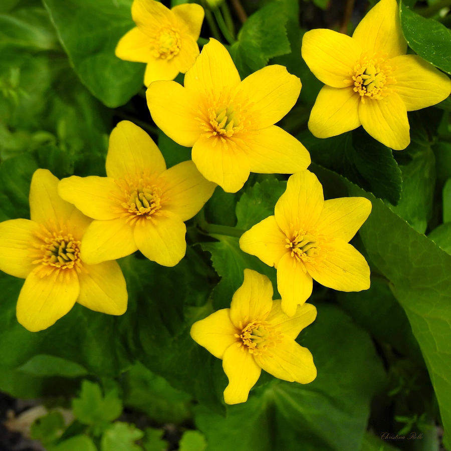 Yellow Marsh Marigold Flowers is a photograph by Christina Rollo which ...