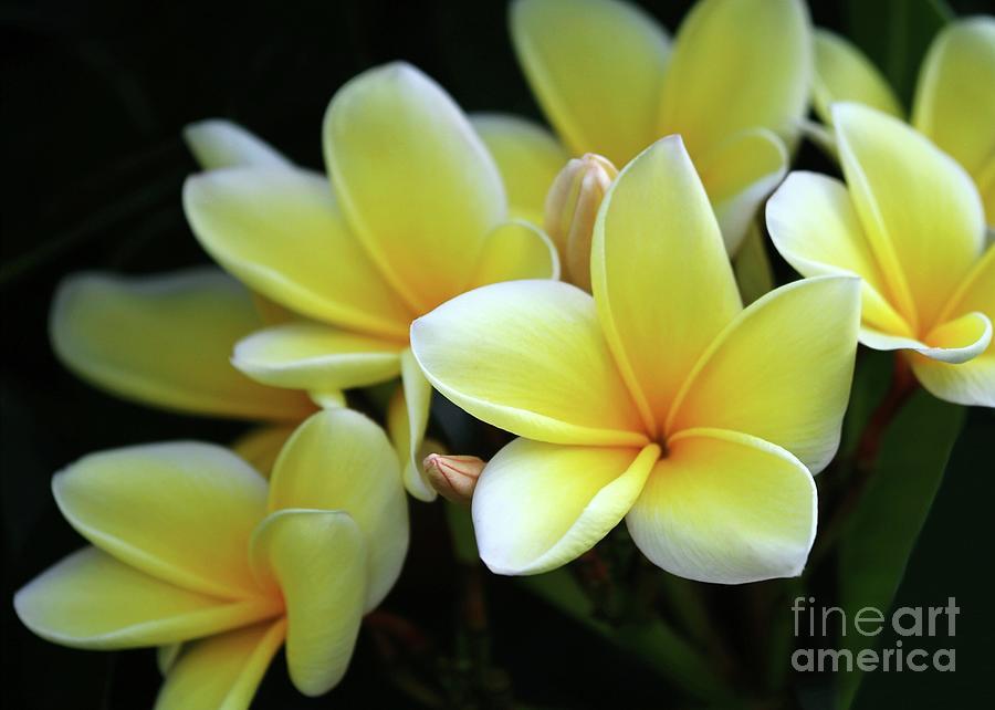 Plumeria Photograph - Yellow Plumeria Cascade by Sabrina L Ryan