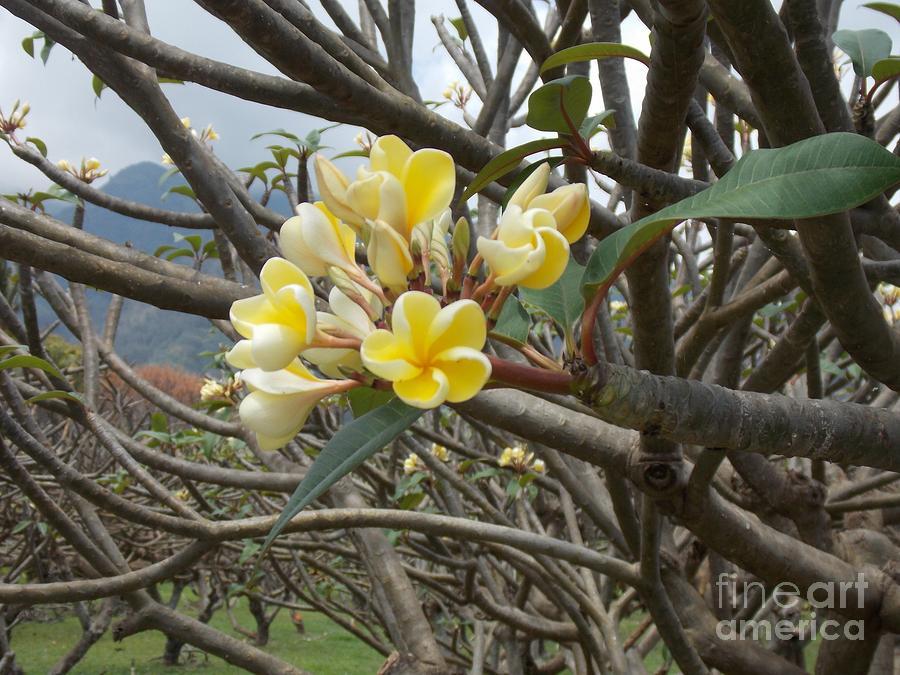 Yellow Photograph - Yellow Plumeria  by Mindy Sue Werth