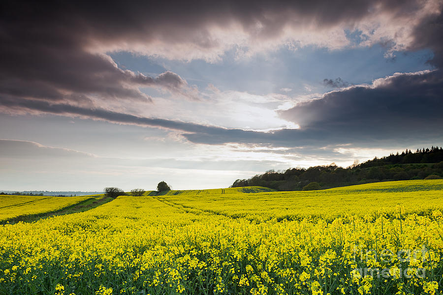 Yellow Rapeseed Field Beautiful Photograph