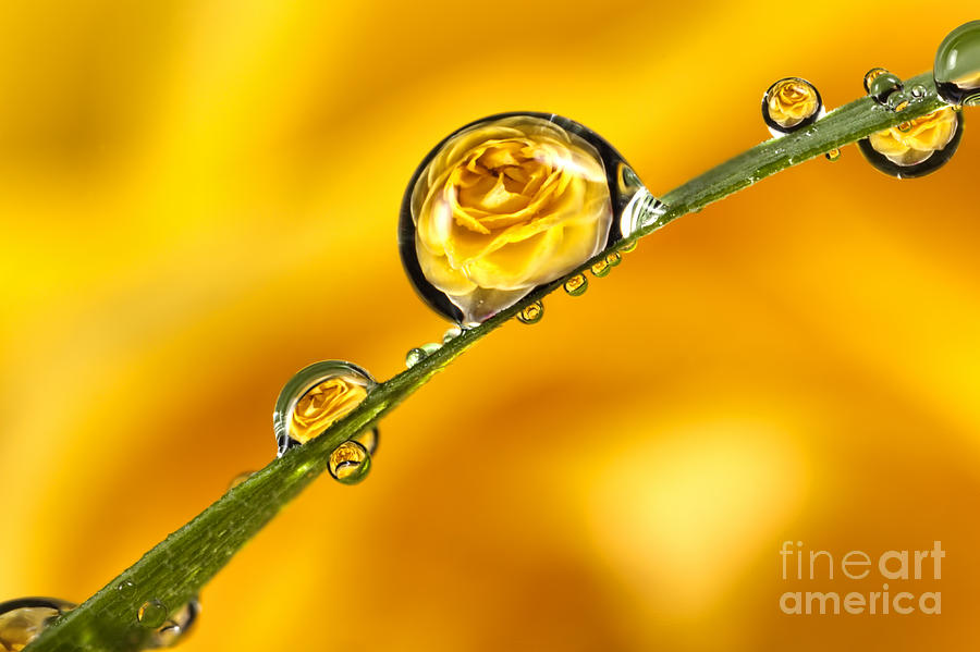 Yellow Rose Dews On Grass Photograph  - Yellow Rose Dews On Grass Fine Art Print