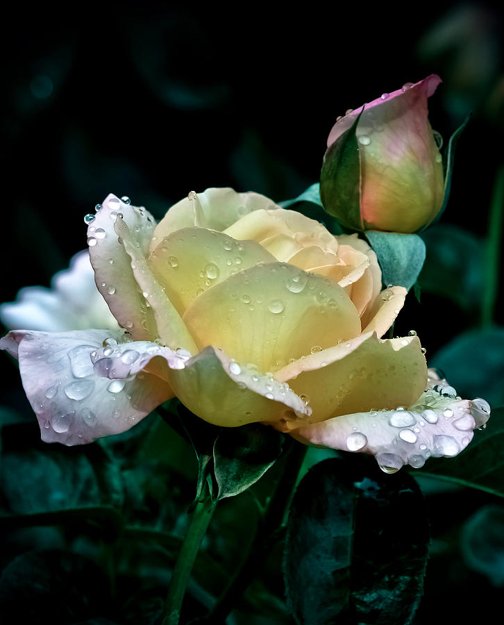 Yellow Rose Morning Dew Photograph