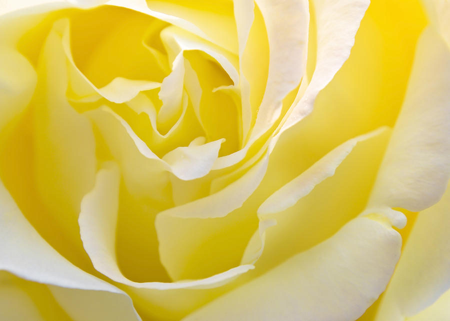 YELLOW ROSE FOR TEXAS