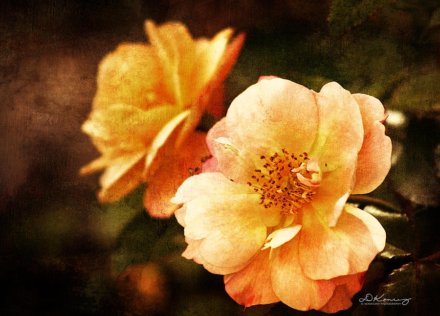 Yellow Roses Photograph  - Yellow Roses Fine Art Print