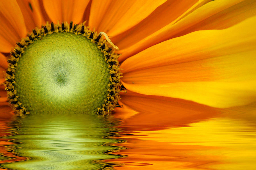 Yellow Sunflower Sunrise Photograph By Don Johnson
