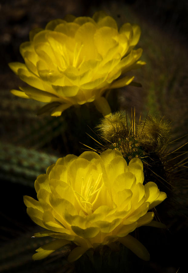 Yellow Torch Cactus  Photograph  - Yellow Torch Cactus  Fine Art Print