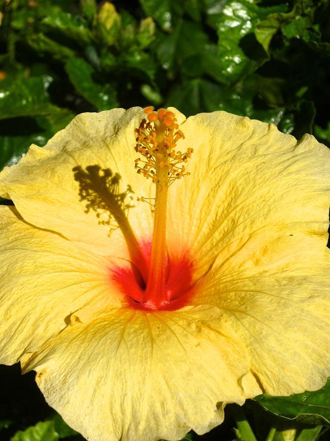 Canadian Photograph - Yellow Tropical Flower  by Shaun Maclellan