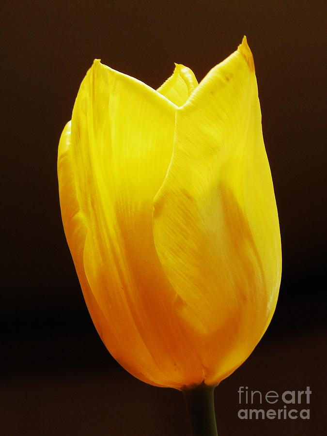 Tulip Photograph - Yellow Tulip 3 by Sarah Loft