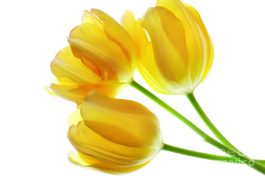 Tulip Photograph - Yellow Tulips by Charline Xia