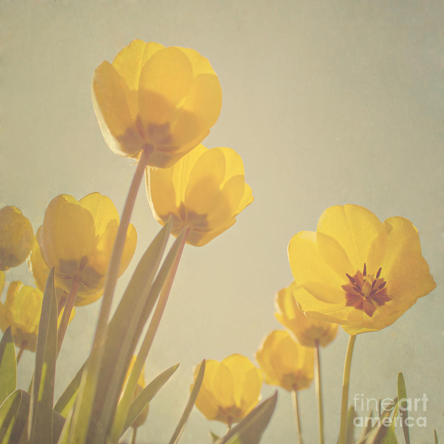 Yellow Tulips Photograph  - Yellow Tulips Fine Art Print