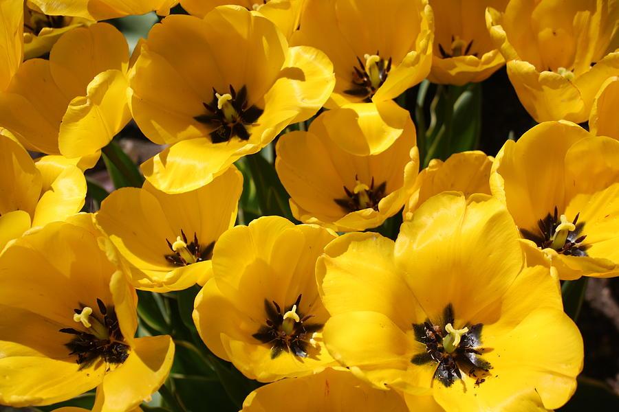 Yellow Tulips Photograph