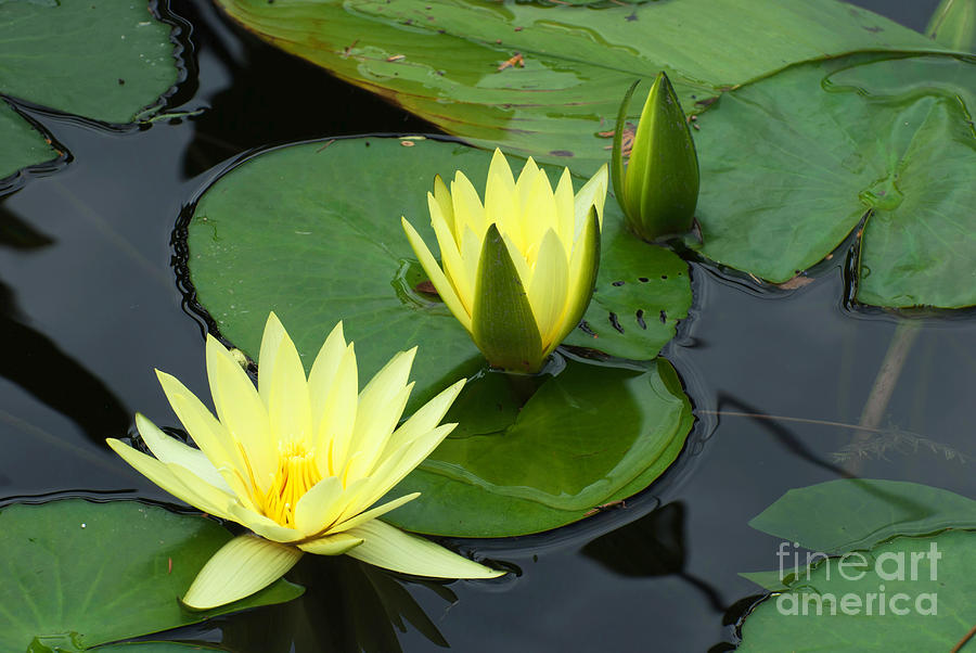 yellow water lily flower - photo #29