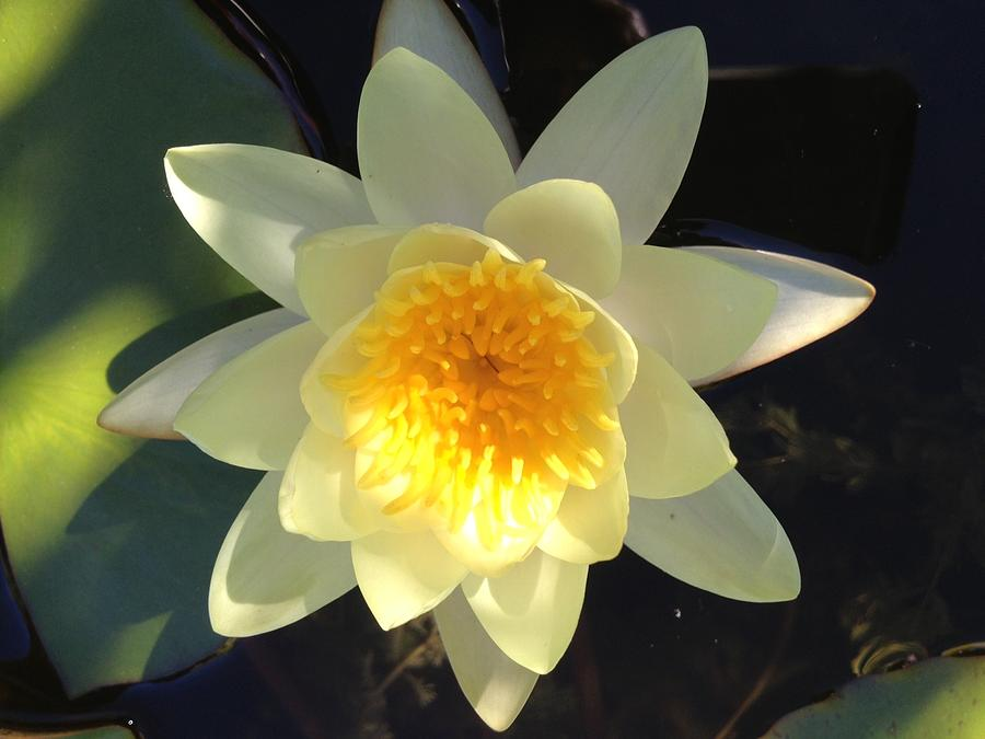 yellow water lily flower - photo #37