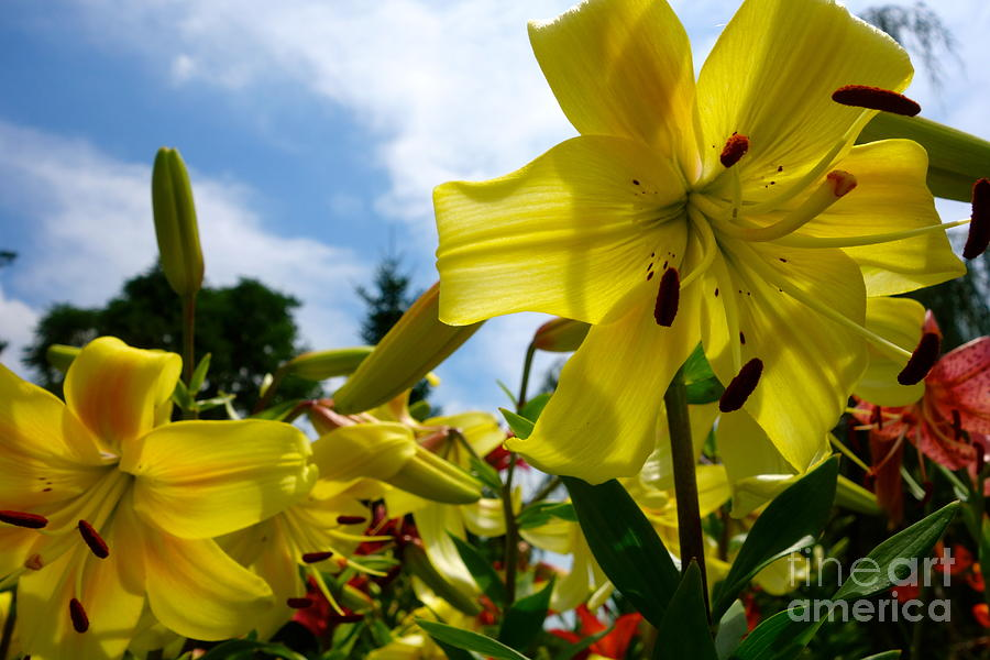 Yellow Whopper Lily 3 Photograph  - Yellow Whopper Lily 3 Fine Art Print