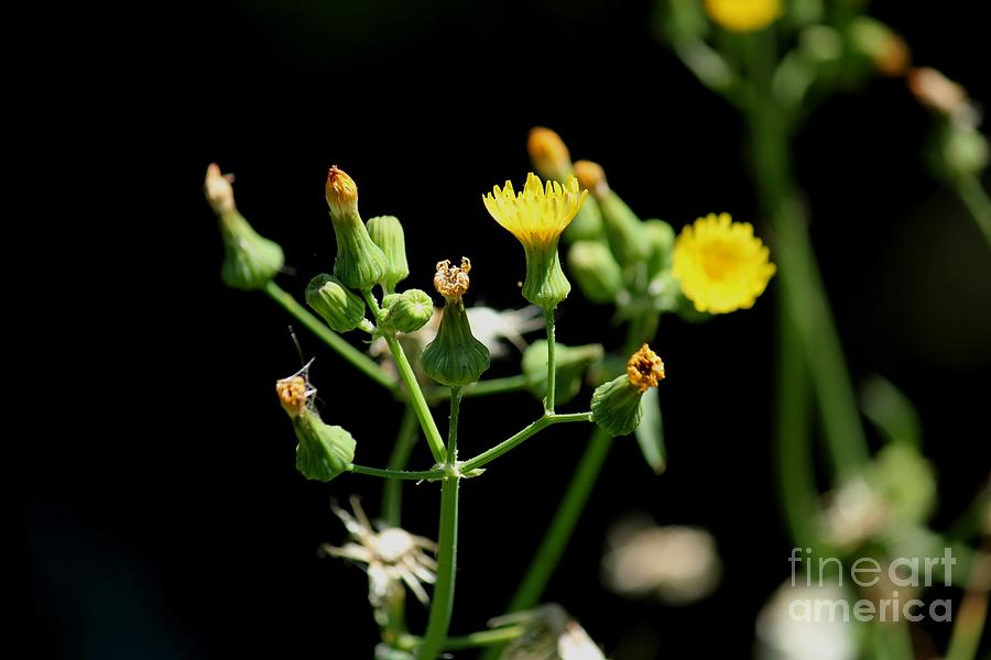 Yellow Wildflowers Photograph  - Yellow Wildflowers Fine Art Print