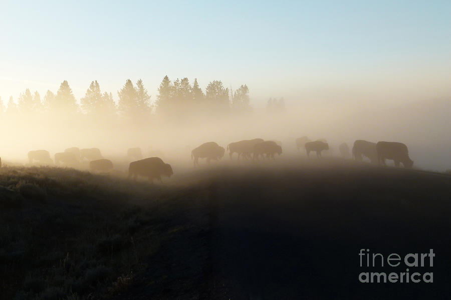 Yellowstone Bison In Early Morning Fog Photograph