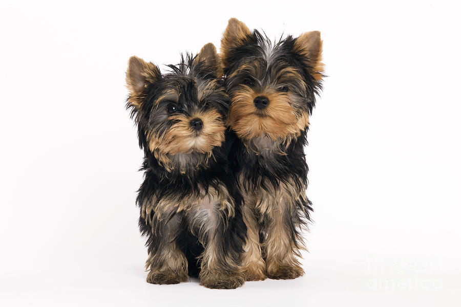 Yorkshire Terrier Photograph - Yorkie Puppies by Jean-Michel Labat