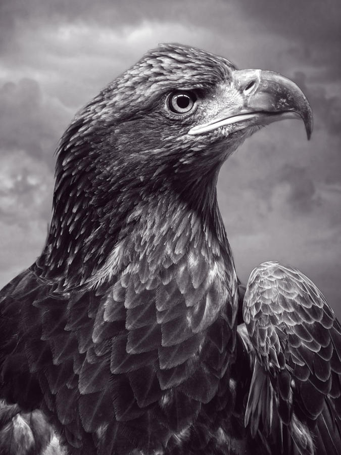 Young Bald Eagle V3 Digital Art  - Young Bald Eagle V3 Fine Art Print