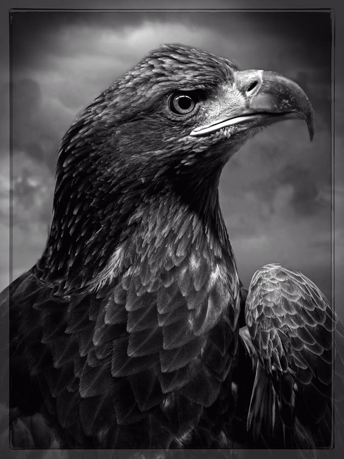 Young Bald Eagle V4 Digital Art