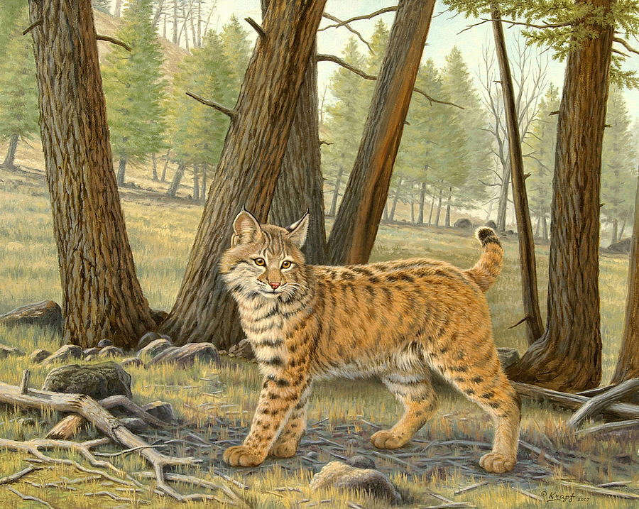 Wildlife Painting - Young Bobcat    by Paul Krapf