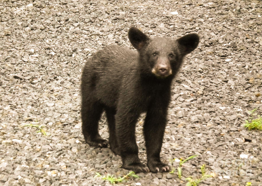 Young Cub Photograph