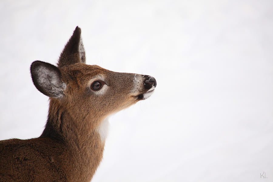 Young Deer In Winter Photograph