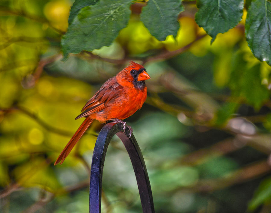 Young Fall Cardinal Photograph  - Young Fall Cardinal Fine Art Print