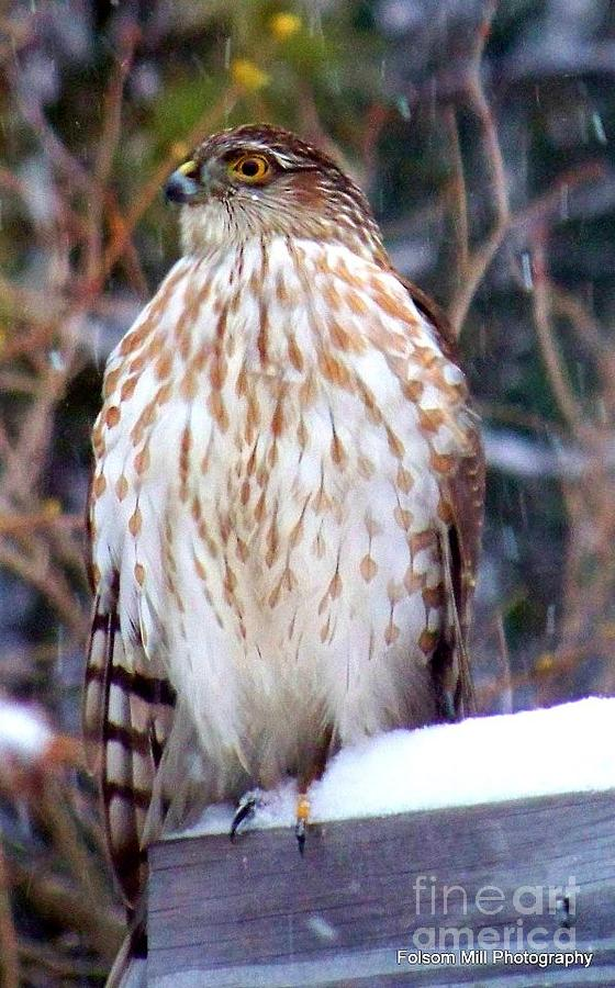 Young Hawk  Photograph  - Young Hawk  Fine Art Print